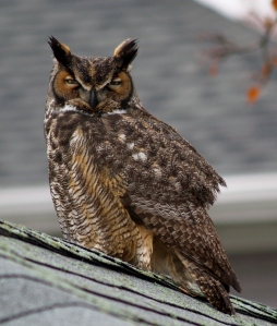 Great Horned Owl taken 12-8 on Angela's garageThe calm of a waiting predator, watching.