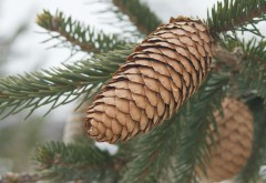 Norway-Spruce-cones